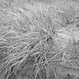 soft beach grass